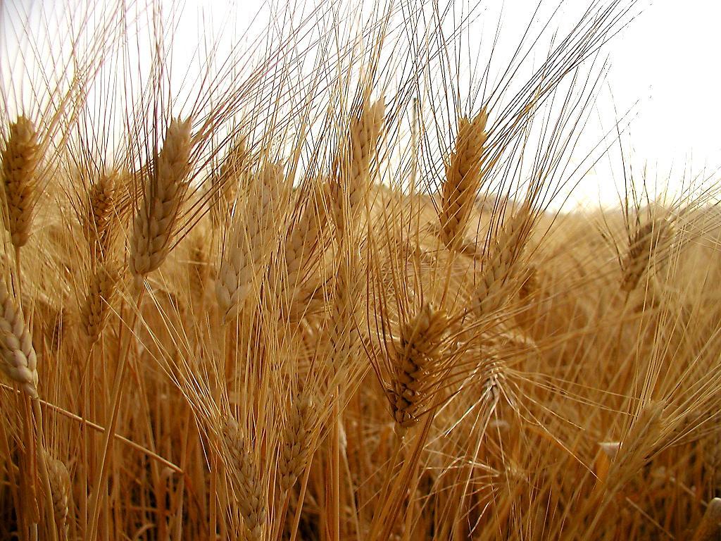 La scommessa sul grano