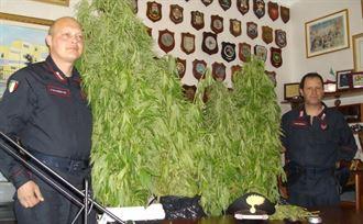 Un campo di marijuana a San Gavino: i carabinieri sequestrano 238 piantine