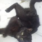 Aiutateci a trovare i padroni di questo gatto nero