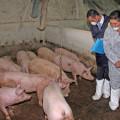 Peste suina: quarantena a Villacidro