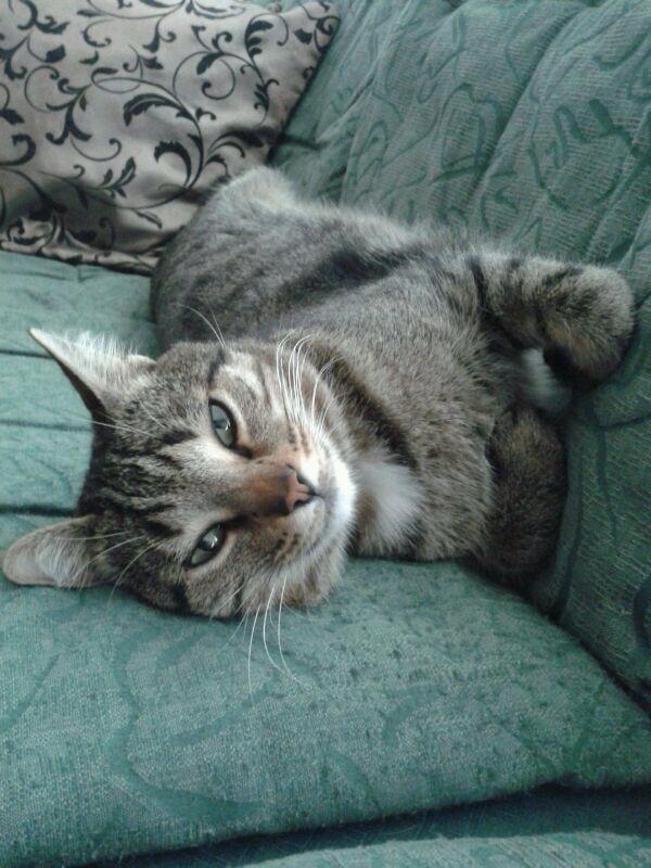 Smarrito gatto in via Regina Margherita