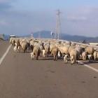 Gregge sulla SS197: strage di pecore