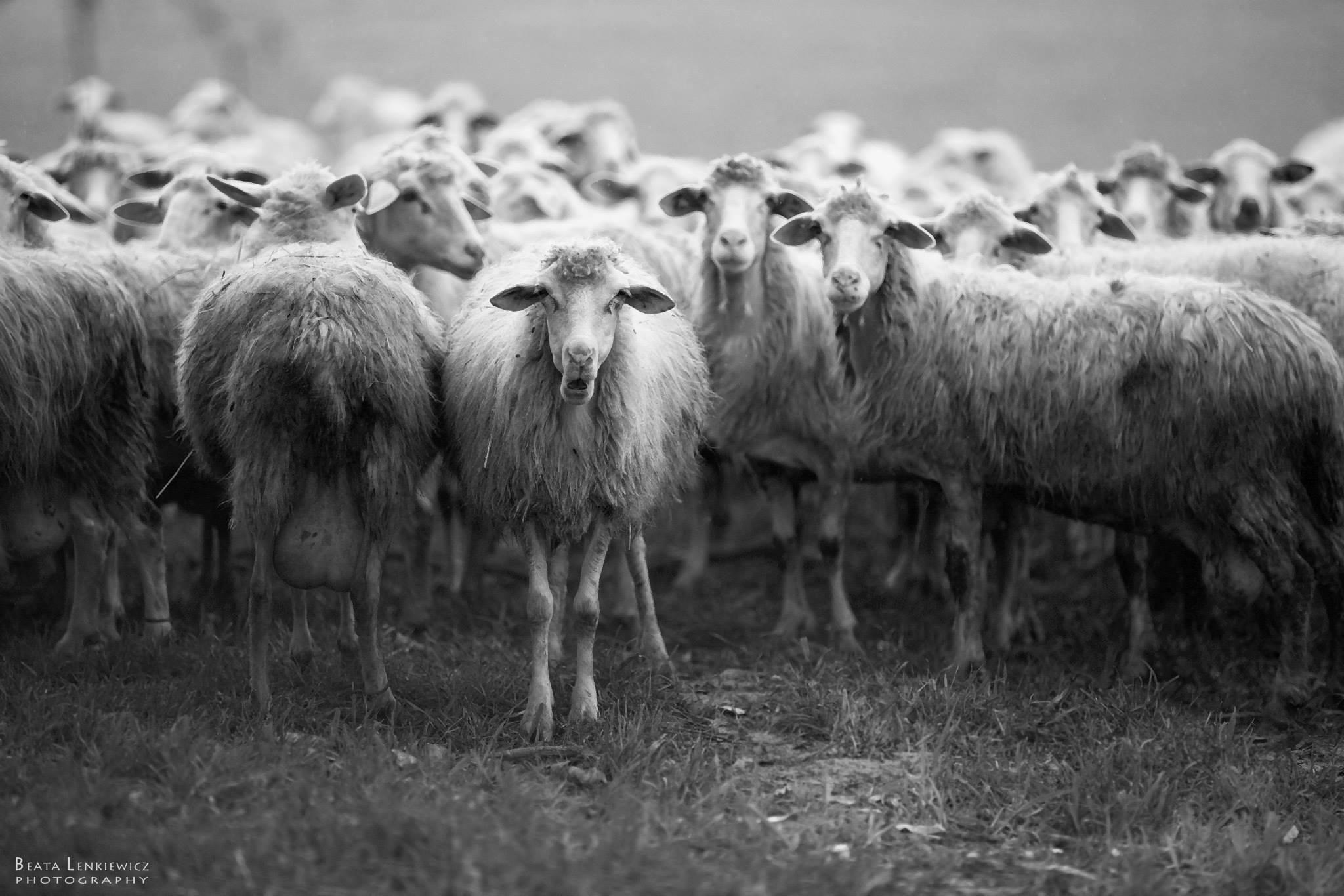 Il silenzio delle pecore san gavino monreale net - La pagina della colorazione delle pecore smarrite ...