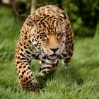Guspini, leopardo fugge da uno zoo privato: scattano le ricerche