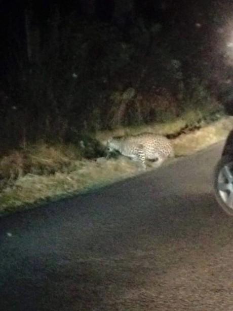 Guspini, catturato il leopardo fuggito dallo zoo