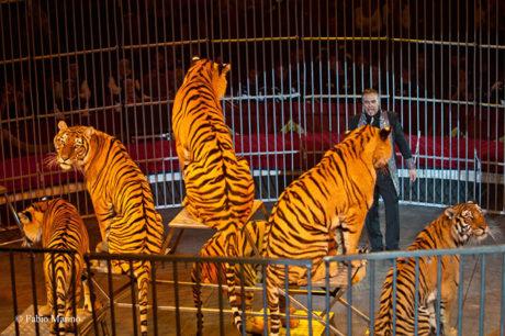 Tigri al circo