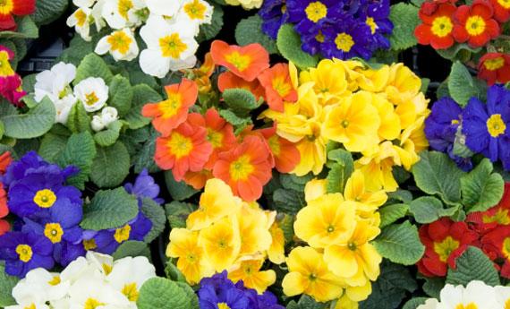 Linguaggio dei fiori scopri il significato delle primule for Primule immagini