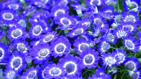 Linguaggio dei fiori: scopri il significato delle Cinerarie