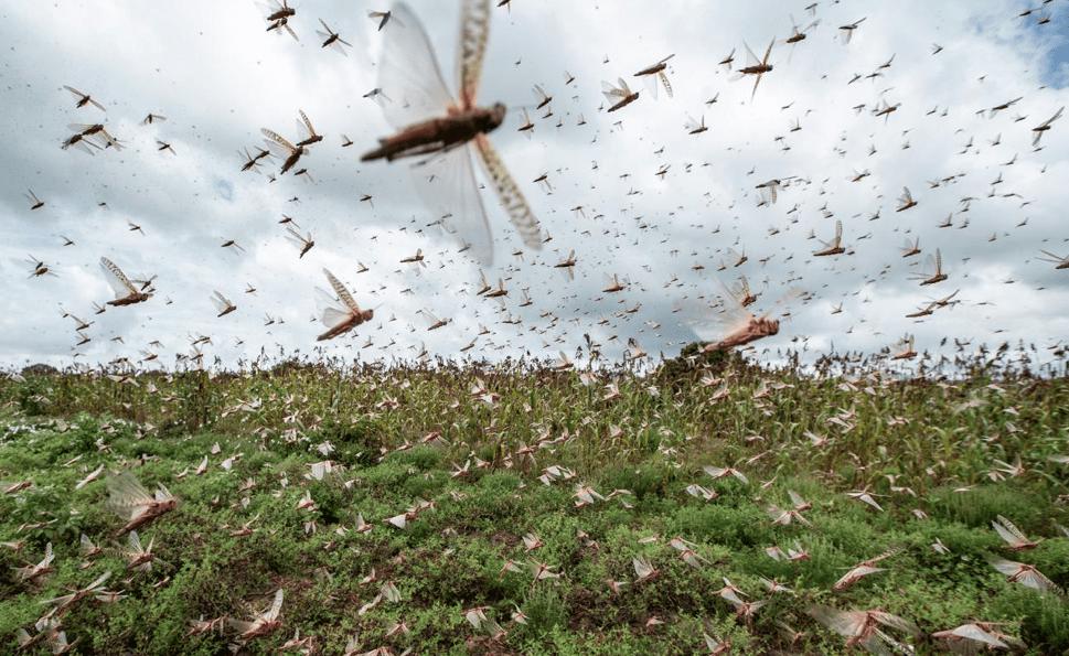 Invasione di cavallette