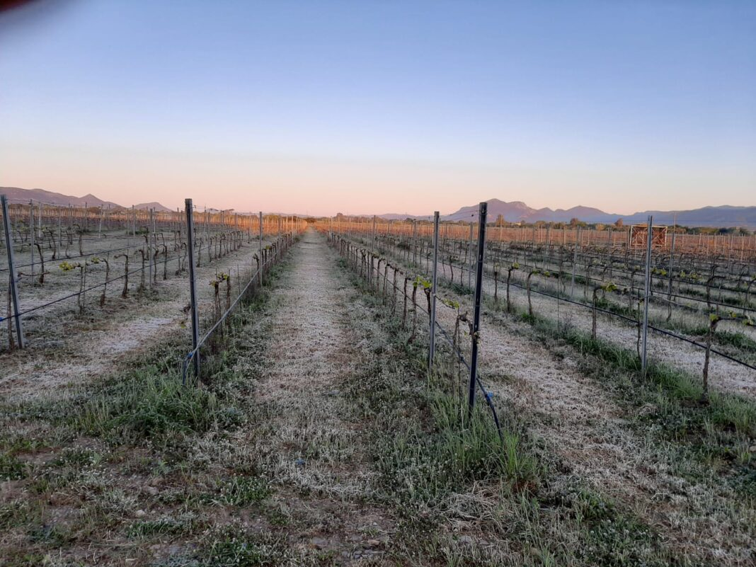 Sardegna, centinaia di ettari di colture bruciate dal gelo